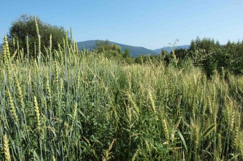 Crannog's Wheat and Barley